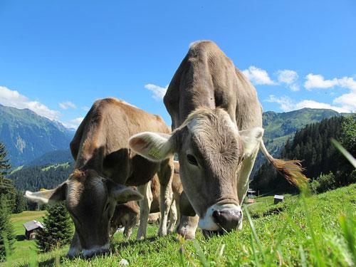 Nicht jede Kuh hat das Glück, den Sommer auf einer schönen Weide verbringen  zu können. In den Ställen aber kann Musik dafür sorgen, dass die Tiere  auch dort grundsätzlich glücklicher sind. Quelle Foto: pixabay.